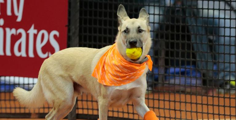 [VÍDEO] Cães viram apanha-bolas no ATP Champions Tour em Londres